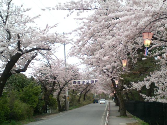 今日のさくら  秋田市の話